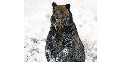Grizzly Bear - Ken Herrly2
