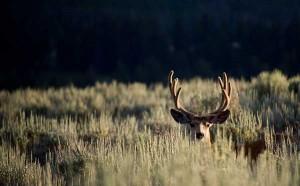Mule Deer on Montana Ranch CC by Scott Akerman