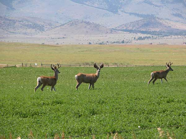 Paradise Valley Mule Deer