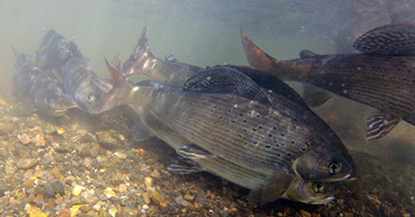 The Arctic grayling is one of Montana's native species that would benefit from the new law.  (Photo: USFWS)