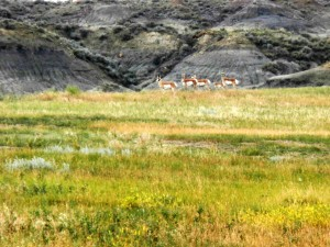 Pronghorn Antelope roaming in the Horse Creek Easement